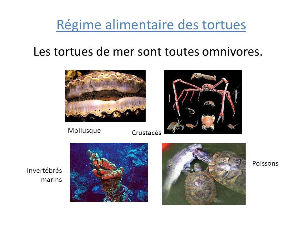 Régime alimentaire des tortues Les tortues de mer sont toutes omnivores. Mollusque Crustacés Poissons Invertébrés marins