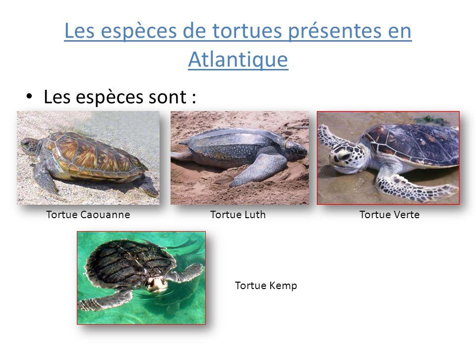 Caractéristiques dune tortue Caouanne La tortue caouanne est appelée la « tortue grosse tête ».