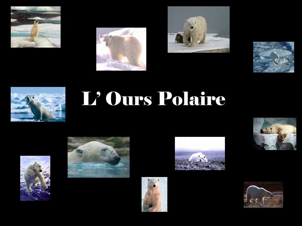 Indroduction LOurs Polaire est un ours de grande taille.