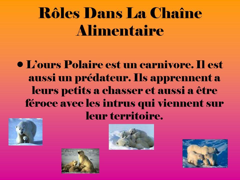 Rôles Dans La Chaîne Alimentaire Lours Polaire est un carnivore.