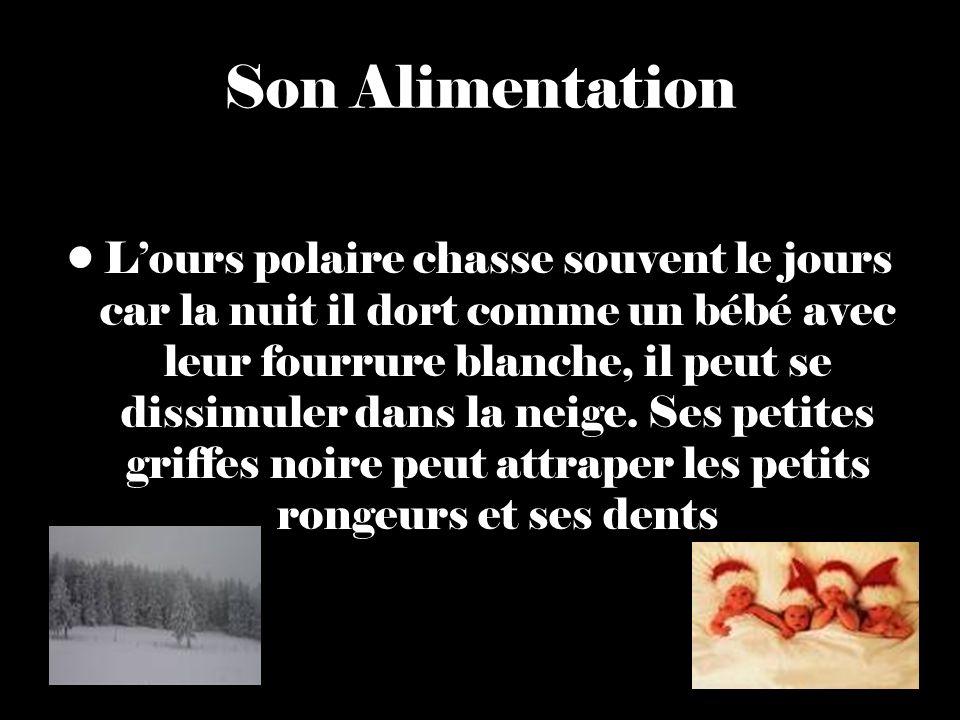 Son Alimentation Lours polaire chasse souvent le jours car la nuit il dort comme un bébé avec leur fourrure blanche, il peut se dissimuler dans la neige.