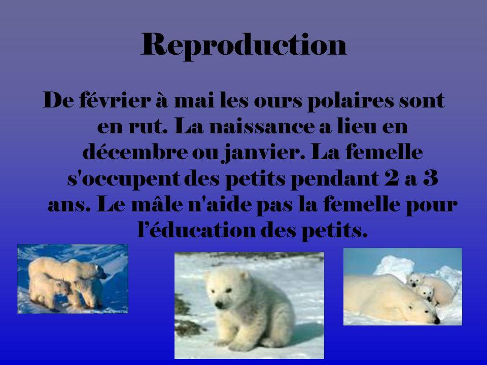 Reproduction De février à mai les ours polaires sont en rut.