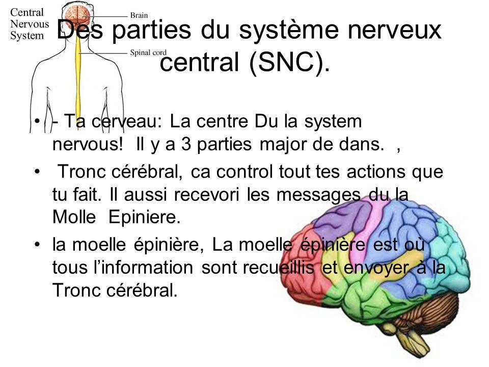 Des parties du système nerveux central (SNC).- Ta cerveau: La centre Du la system nervous.