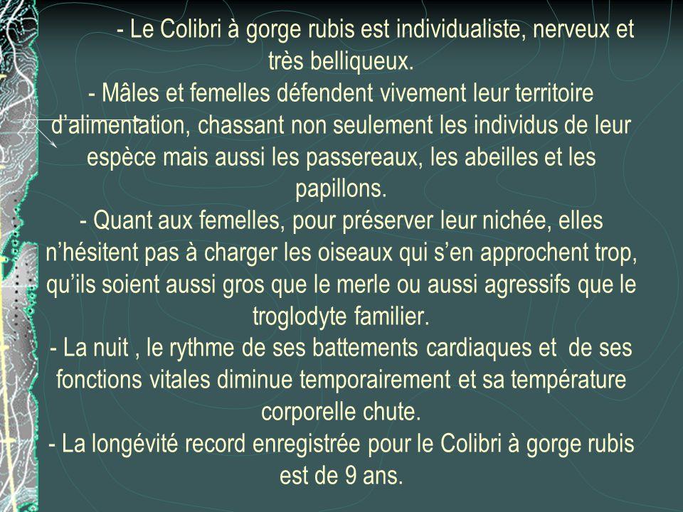 - Le Colibri à gorge rubis est individualiste, nerveux et très belliqueux. - Mâles et femelles défendent vivement leur territoire dalimentation, chass