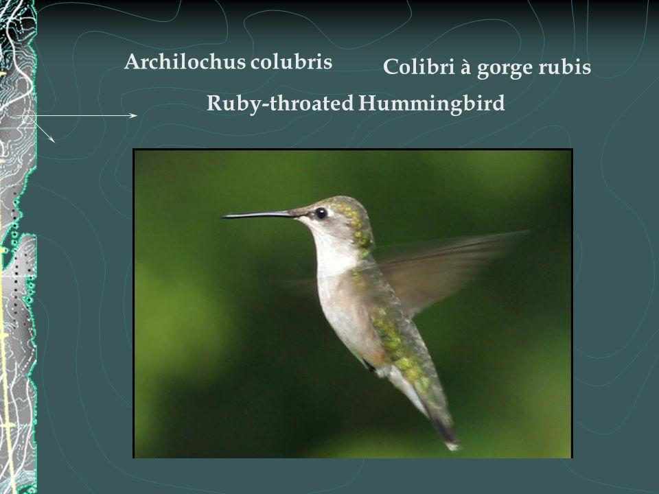 Son habitat - Il habite la Nouvelle-Écosse, le Nouveau- Brunswick, lÎle-du-Prince-Édouard, le sud du Québec ainsi que lOntario jusque dans les environs du lac des Bois et du lac Nipigon, au nord.
