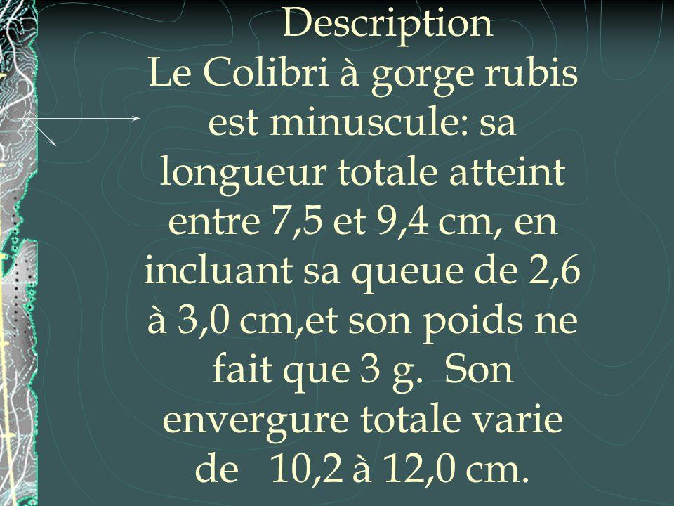 Description Le Colibri à gorge rubis est minuscule: sa longueur totale atteint entre 7,5 et 9,4 cm, en incluant sa queue de 2,6 à 3,0 cm,et son poids