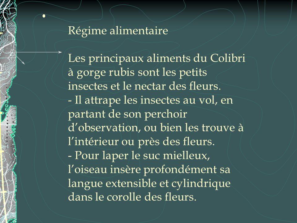 Régime alimentaire Les principaux aliments du Colibri à gorge rubis sont les petits insectes et le nectar des fleurs. - Il attrape les insectes au vol