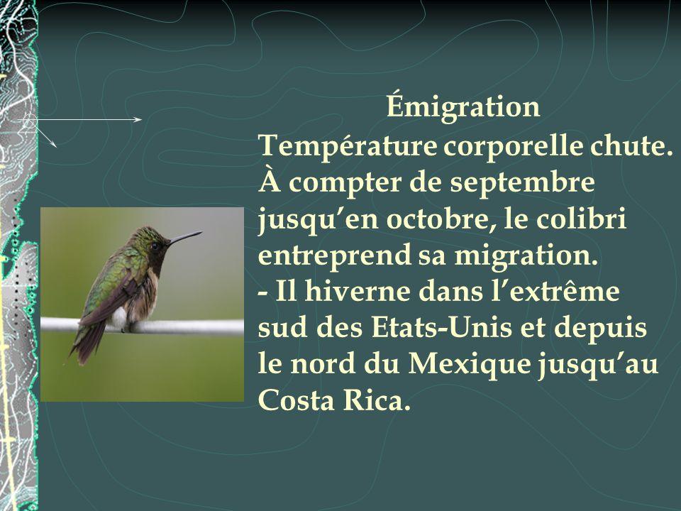 Émigration Température corporelle chute. À compter de septembre jusquen octobre, le colibri entreprend sa migration. - Il hiverne dans lextrême sud de