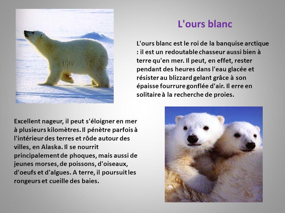 L'ours blanc est le roi de la banquise arctique : il est un redoutable chasseur aussi bien à terre qu'en mer. Il peut, en effet, rester pendant des he