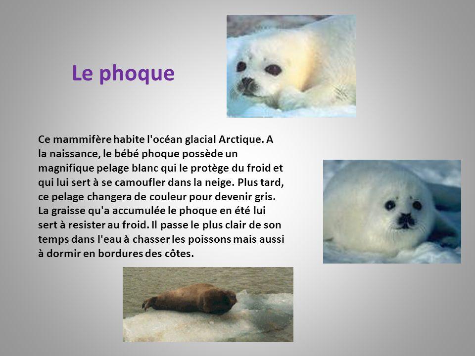 Le phoque Ce mammifère habite l'océan glacial Arctique. A la naissance, le bébé phoque possède un magnifique pelage blanc qui le protège du froid et q