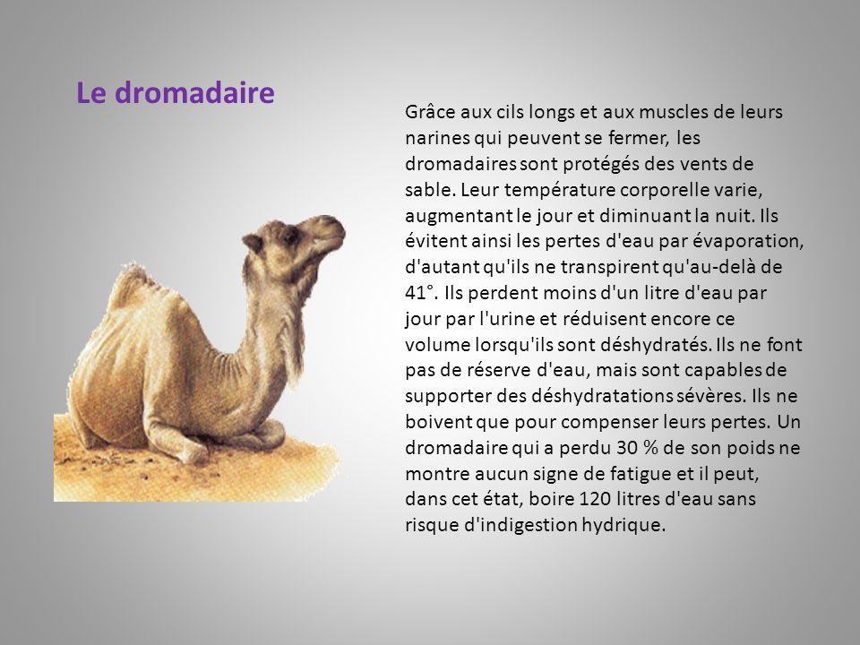 Grâce aux cils longs et aux muscles de leurs narines qui peuvent se fermer, les dromadaires sont protégés des vents de sable. Leur température corpore