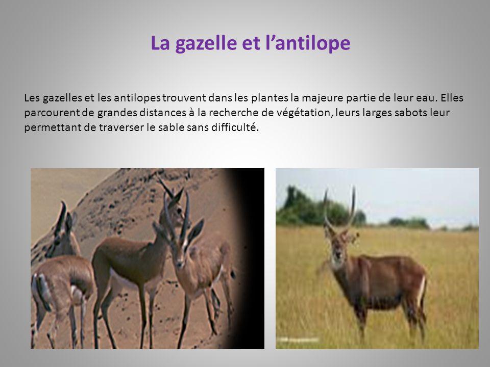 Les gazelles et les antilopes trouvent dans les plantes la majeure partie de leur eau. Elles parcourent de grandes distances à la recherche de végétat