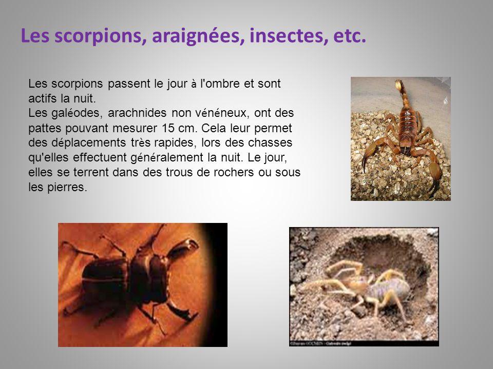 Les scorpions passent le jour à l'ombre et sont actifs la nuit. Les gal é odes, arachnides non v é n é neux, ont des pattes pouvant mesurer 15 cm. Cel