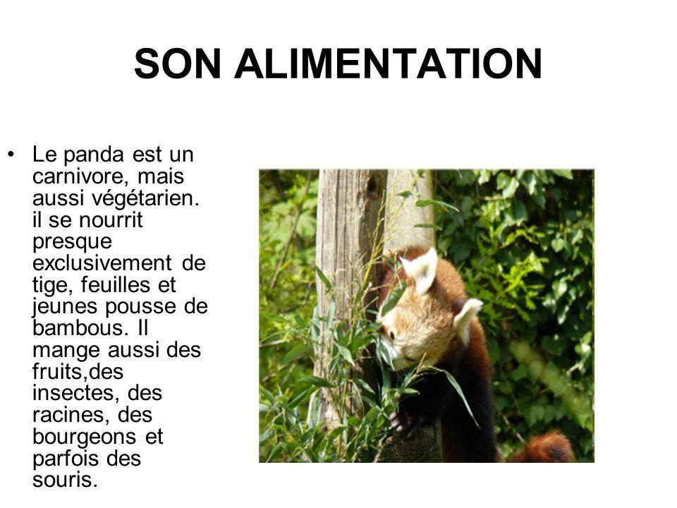 SON ALIMENTATION Le panda est un carnivore, mais aussi végétarien. il se nourrit presque exclusivement de tige, feuilles et jeunes pousse de bambous.
