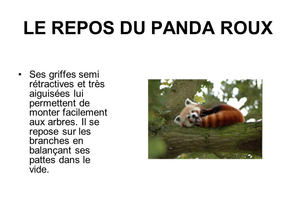 LE REPOS DU PANDA ROUX Ses griffes semi rétractives et très aiguisées lui permettent de monter facilement aux arbres. Il se repose sur les branches en