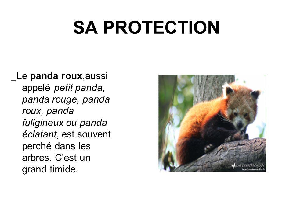 SA PROTECTION _Le panda roux,aussi appelé petit panda, panda rouge, panda roux, panda fuligineux ou panda éclatant, est souvent perché dans les arbres