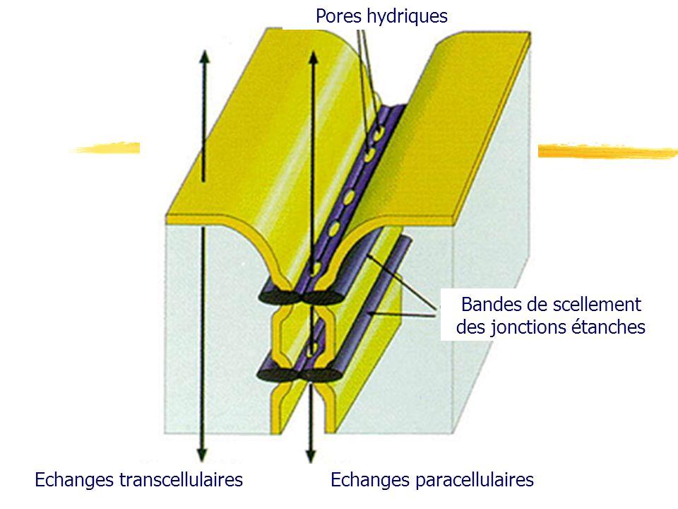 Echanges transcellulairesEchanges paracellulaires Pores hydriques Bandes de scellement des jonctions étanches