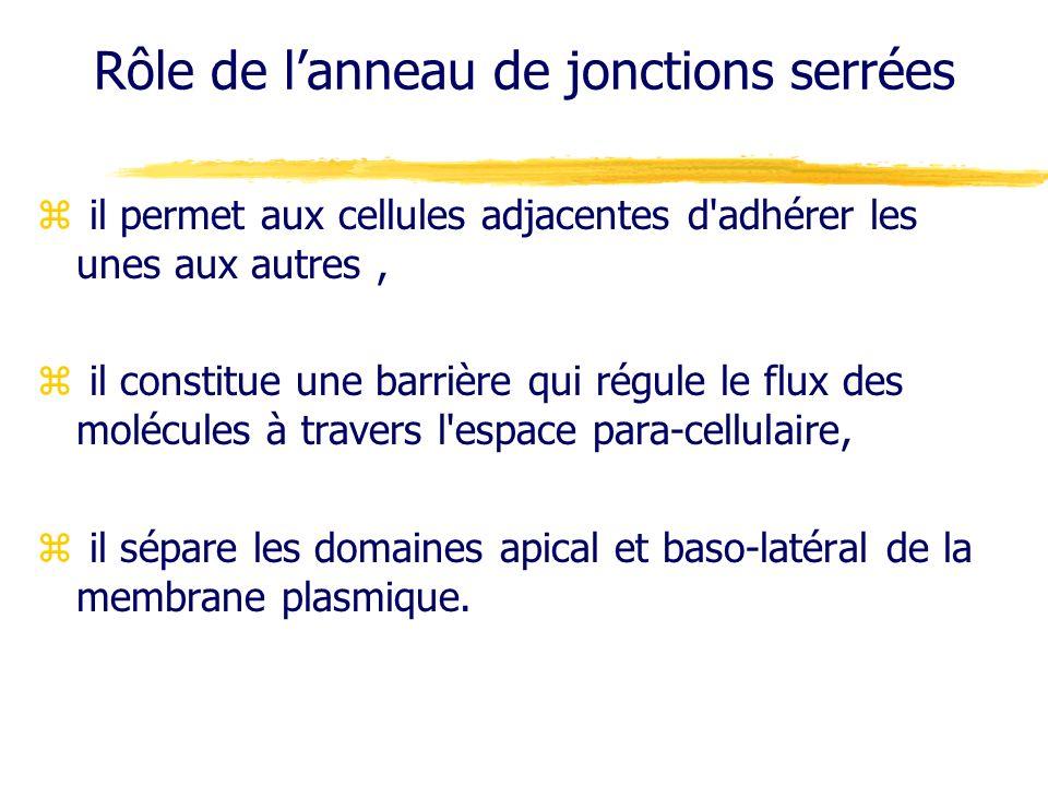 Rôle de lanneau de jonctions serrées z il permet aux cellules adjacentes d'adhérer les unes aux autres, z il constitue une barrière qui régule le flux