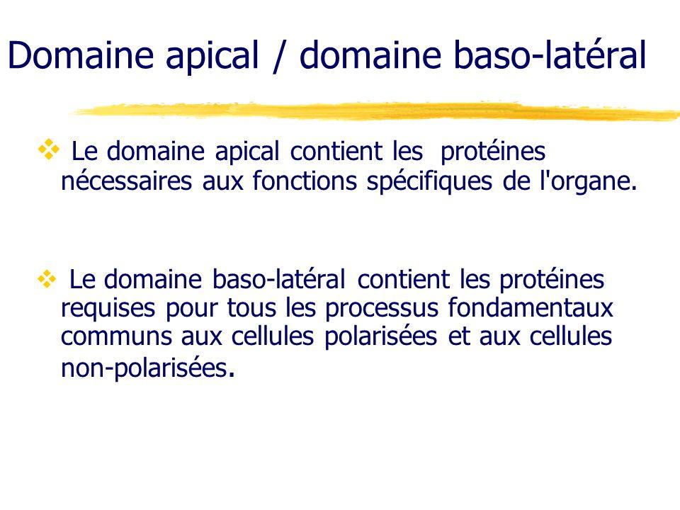 Domaine apical / domaine baso-latéral Le domaine apical contient les protéines nécessaires aux fonctions spécifiques de l'organe. Le domaine baso-laté