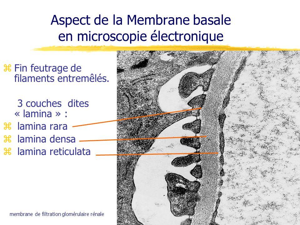 zFin feutrage de filaments entremêlés. 3 couches dites « lamina » : z lamina rara z lamina densa z lamina reticulata Aspect de la Membrane basale en m