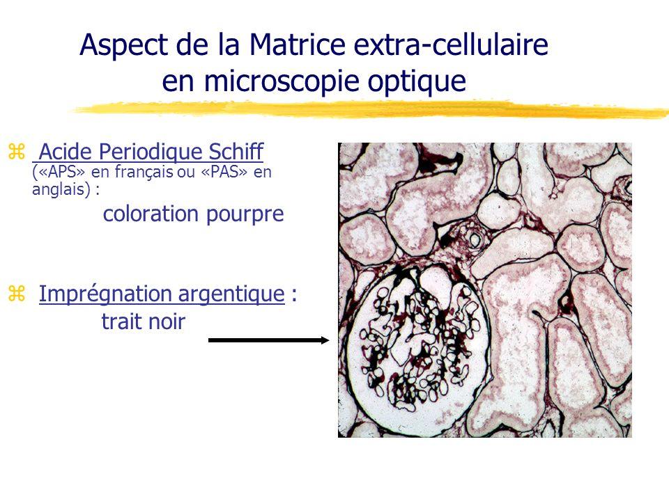 z Acide Periodique Schiff («APS» en français ou «PAS» en anglais) : coloration pourpre z Imprégnation argentique : trait noir Aspect de la Matrice ext