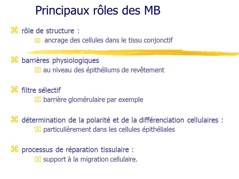 Principaux rôles des MB z rôle de structure : x ancrage des cellules dans le tissu conjonctif z barrières physiologiques x au niveau des épithéliums d