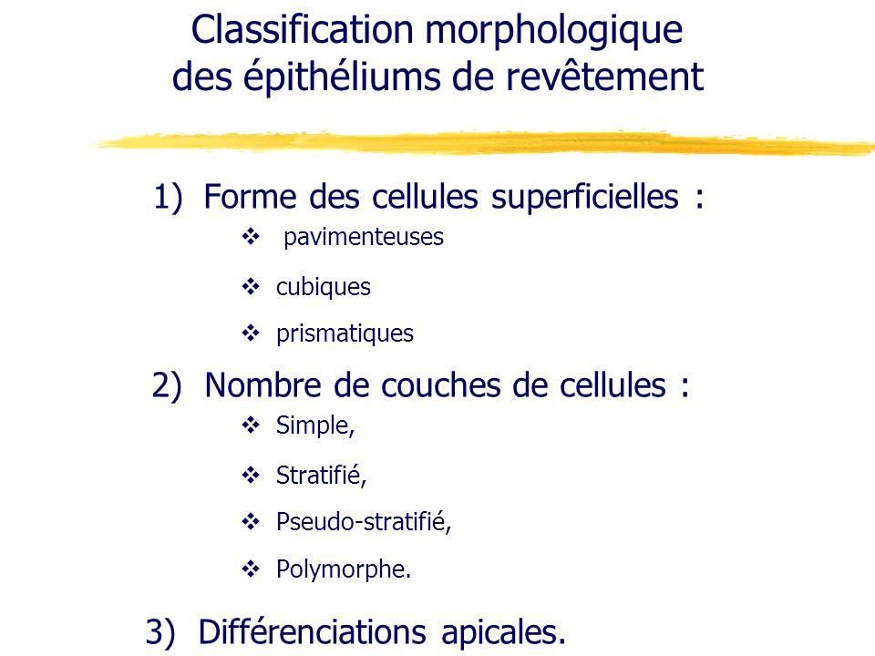 Classification morphologique des épithéliums de revêtement 1)Forme des cellules superficielles : pavimenteuses cubiques prismatiques 2) Nombre de couc