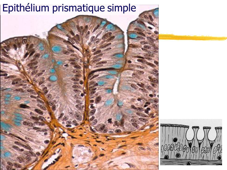 Epithélium prismatique simple