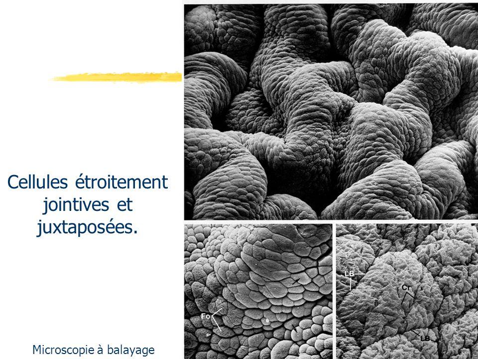 Caractéristiques des cellules épithéliales 1) forme rectangulaire ou aplatie (étroite juxtaposition et jointivité), 2) interactions cellule-cellule : jonctions ++, 3) polarité cellulaire +++ zonula occludens (ZO) +++, 4) filaments intermédiaires de cytokératine, 5) relations avec la Matrice Extra-Cellulaire (dite aussi : MEC, MB).