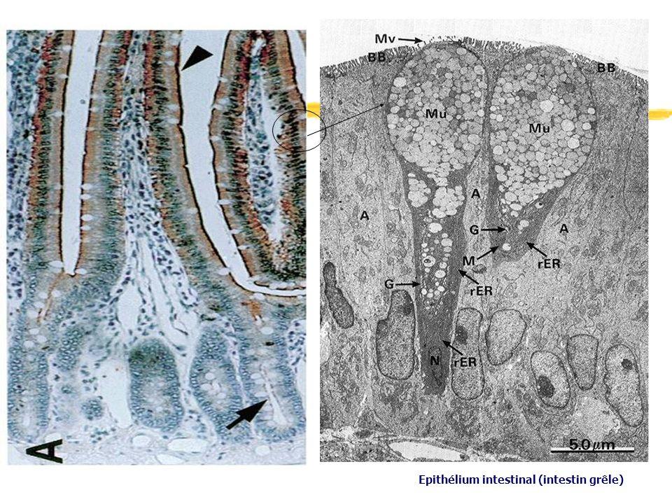 Epithélium intestinal (intestin grêle)