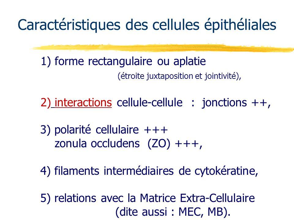 Caractéristiques des cellules épithéliales 1) forme rectangulaire ou aplatie (étroite juxtaposition et jointivité), 2) interactions cellule-cellule :