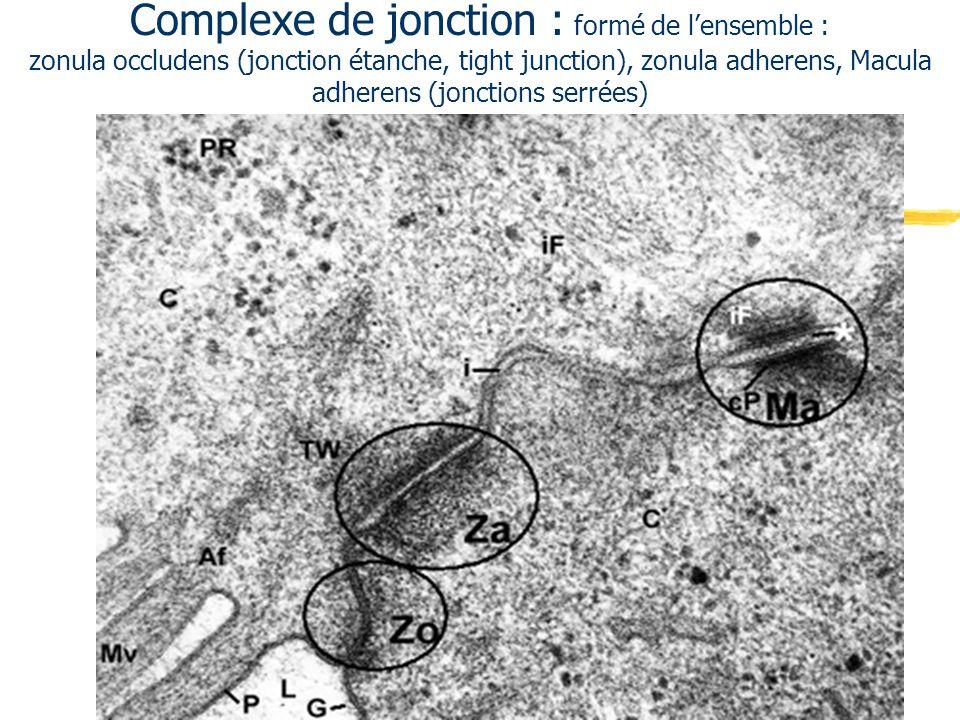 Epithélium cubique simple : les canaux excréteurs Médullaire rénale : tubes droits