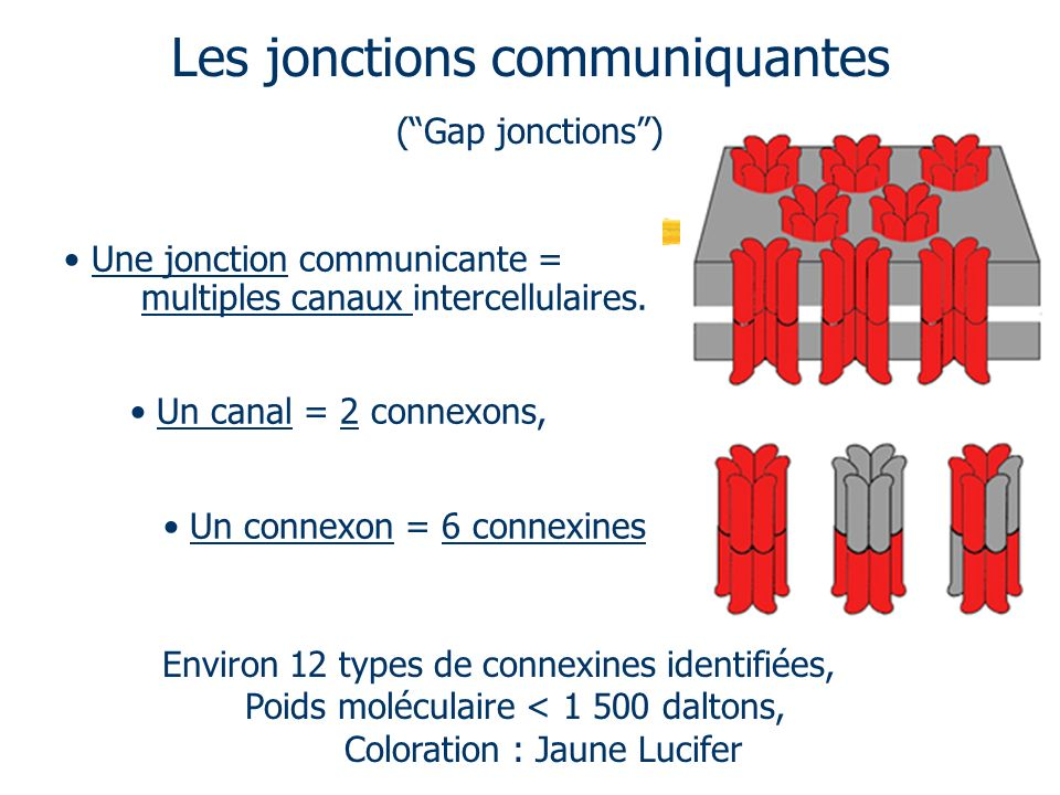 Les jonctions communiquantes (Gap jonctions) Une jonction communicante = multiples canaux intercellulaires. Un canal = 2 connexons, Un connexon = 6 co