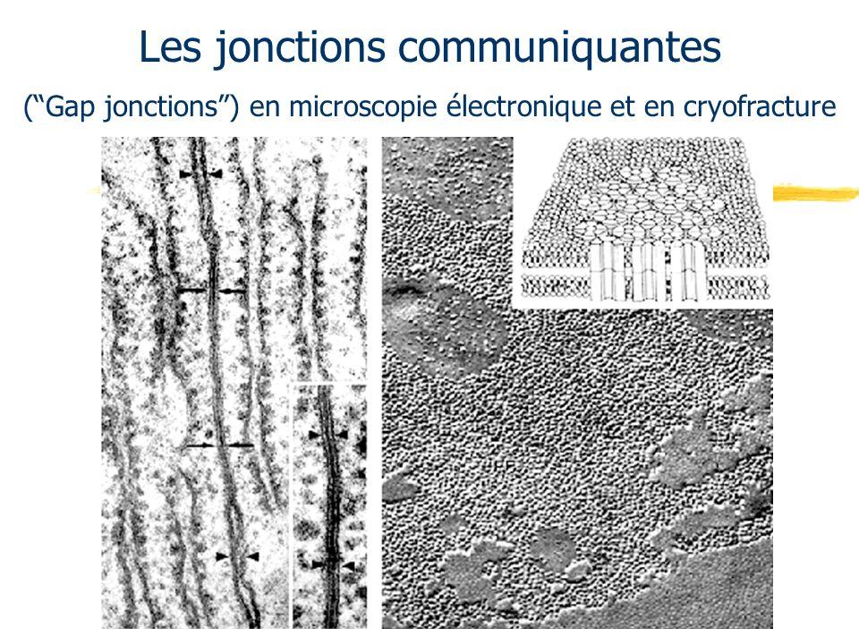 Les jonctions communiquantes (Gap jonctions) en microscopie électronique et en cryofracture