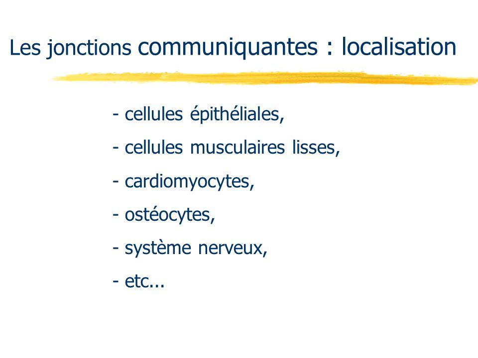 - cellules épithéliales, - cellules musculaires lisses, - cardiomyocytes, - ostéocytes, - système nerveux, - etc... Les jonctions communiquantes : loc