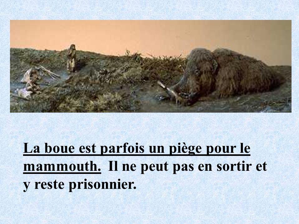 La boue est parfois un piège pour le mammouth. Il ne peut pas en sortir et y reste prisonnier.