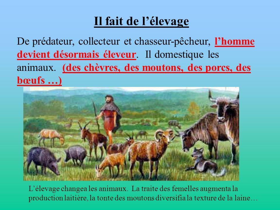 Il fait de lélevage De prédateur, collecteur et chasseur-pêcheur, lhomme devient désormais éleveur. Il domestique les animaux. (des chèvres, des mouto