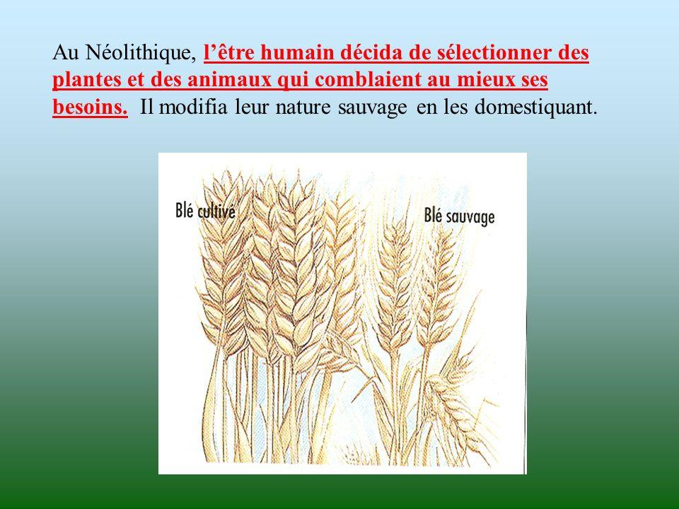 Au Néolithique, lêtre humain décida de sélectionner des plantes et des animaux qui comblaient au mieux ses besoins. Il modifia leur nature sauvage en