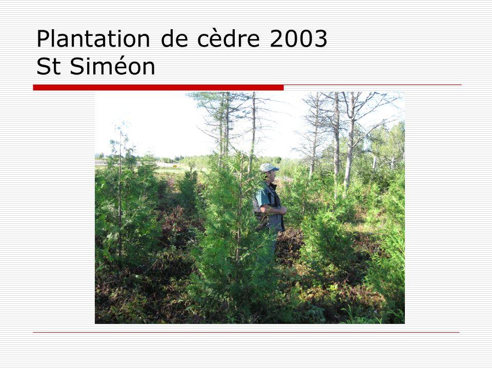 Plantation de cèdre 2003 St Siméon