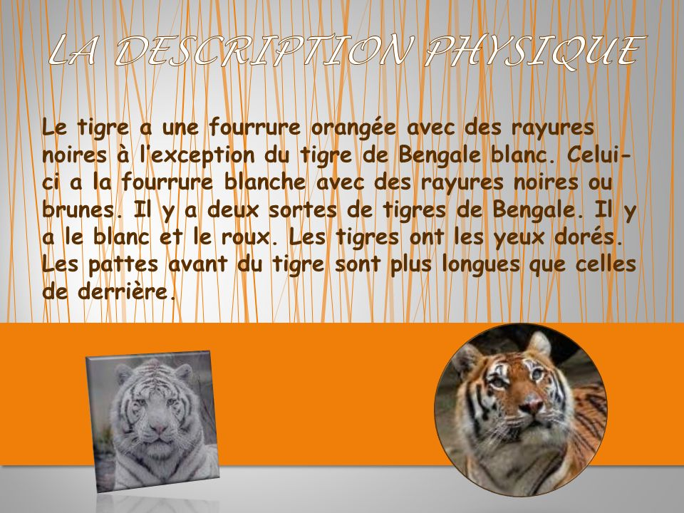 Le tigre a une fourrure orangée avec des rayures noires à lexception du tigre de Bengale blanc.