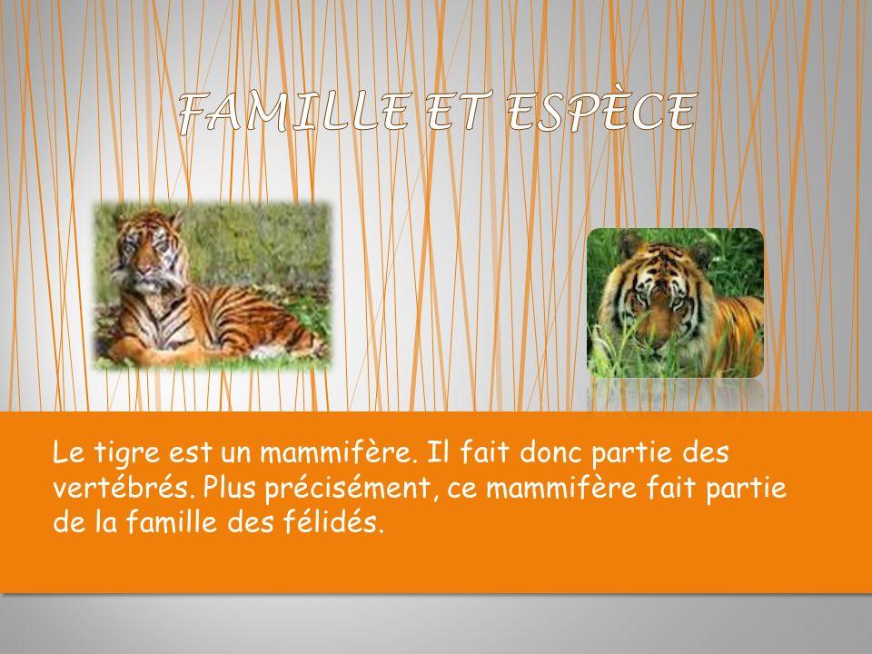 Le tigre est un mammifère.Il fait donc partie des vertébrés.