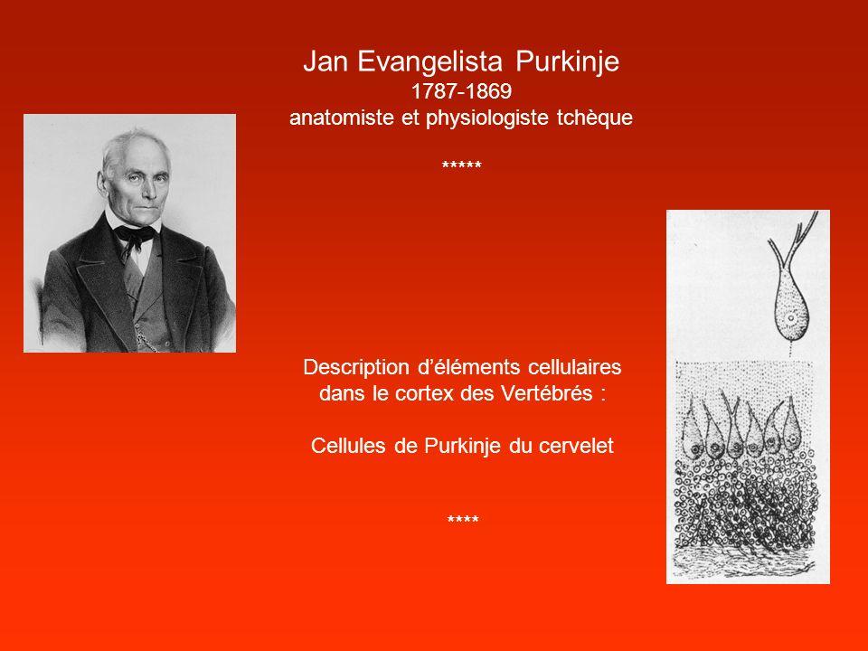 Jan Evangelista Purkinje 1787-1869 anatomiste et physiologiste tchèque ***** Description déléments cellulaires dans le cortex des Vertébrés : Cellules