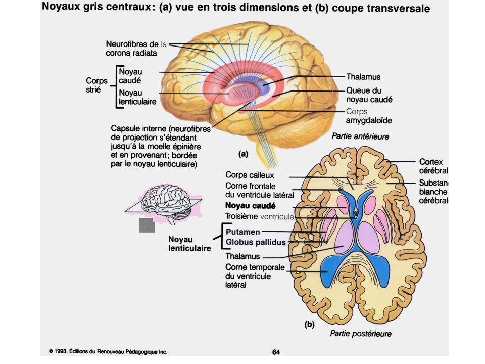 Anatomie des Noyaux gris Centraux
