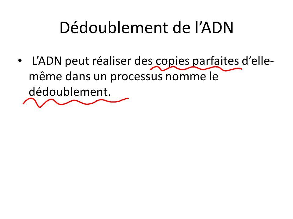 Dédoublement de lADN LADN peut réaliser des copies parfaites delle- même dans un processus nomme le dédoublement.