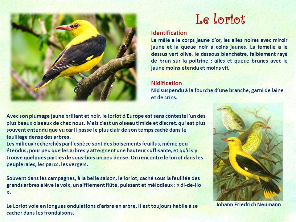 Identification Le mâle a le corps jaune dor, les ailes noires avec miroir jaune et la queue noir à coins jaunes. La femelle a le dessus vert olive, le