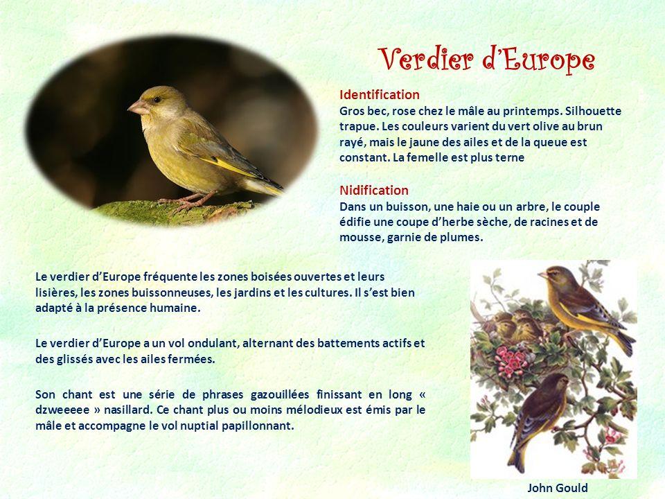 Verdier dEurope Identification Gros bec, rose chez le mâle au printemps. Silhouette trapue. Les couleurs varient du vert olive au brun rayé, mais le j