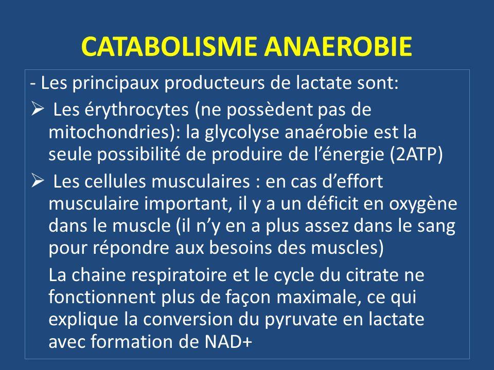 - Les principaux producteurs de lactate sont: Les érythrocytes (ne possèdent pas de mitochondries): la glycolyse anaérobie est la seule possibilité de