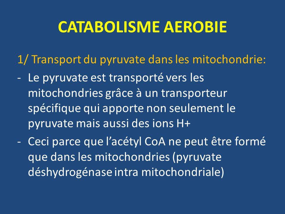 CATABOLISME AEROBIE 2/ Oxydation du pyruvate: -Le pyruvate est transformé en acétyl CoA par décarboxylation oxydative -Réaction irréversible catalysée par plusieurs enzymes regroupées en un complexe multienzymatique associé à la membrane mitochondriale interne: cest le complexe de la pyruvate déshydrogénase