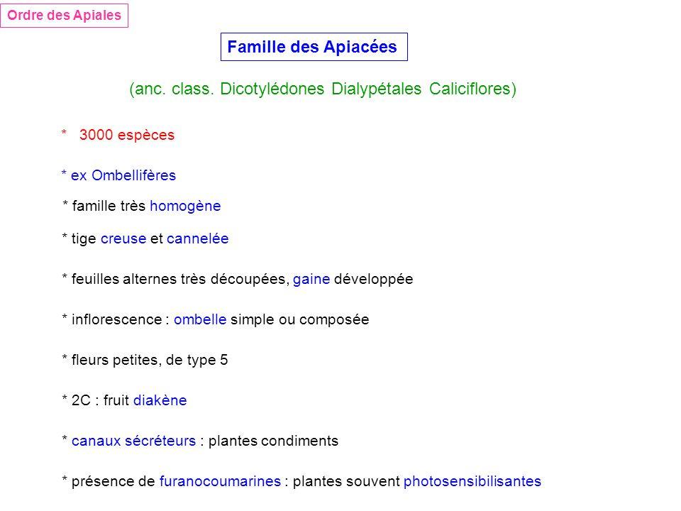 Famille des Apiacées Ordre des Apiales (anc. class. Dicotylédones Dialypétales Caliciflores) * tige creuse et cannelée * feuilles alternes très découp