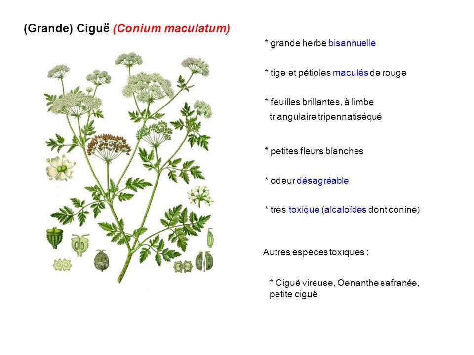 (Grande) Ciguë (Conium maculatum) * grande herbe bisannuelle * tige et pétioles maculés de rouge * feuilles brillantes, à limbe triangulaire tripennat